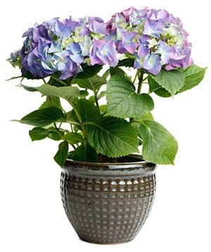 Hortensia - jalohortensia hoito-ohjeet