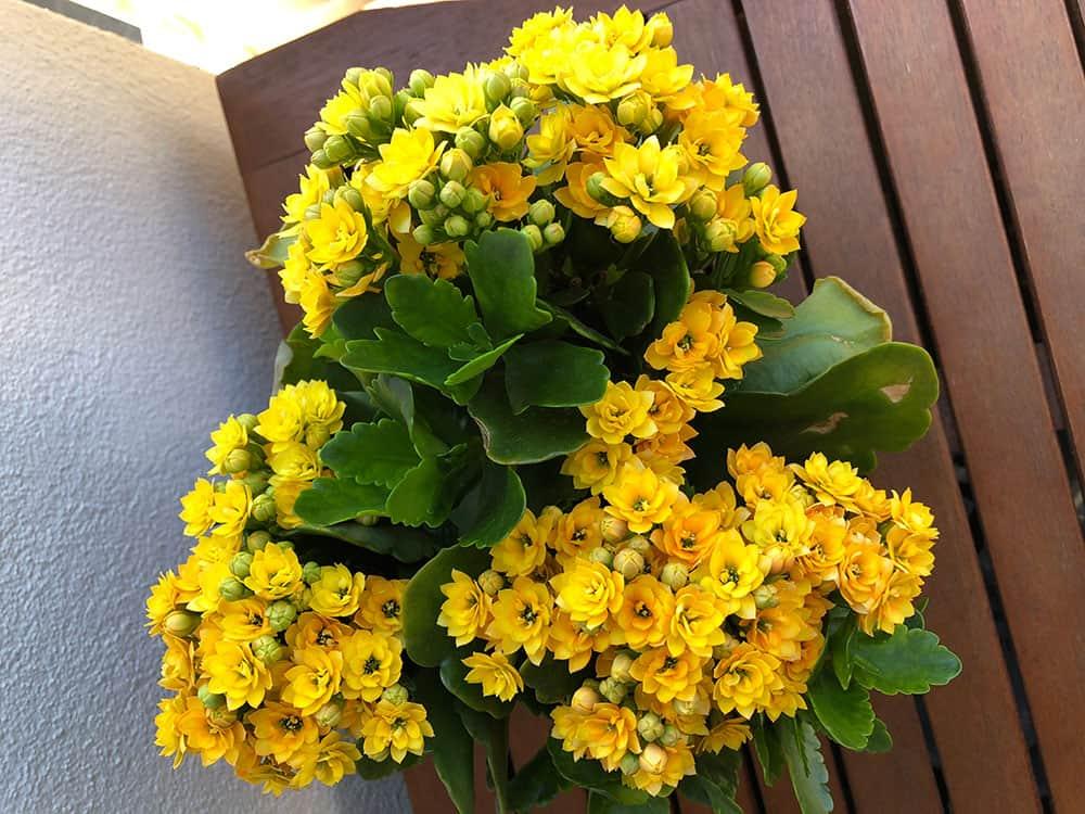 Keltainen tulilatva kukkii