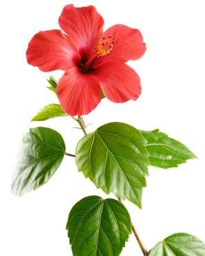 Kiinanruusu hoito-ohjeet