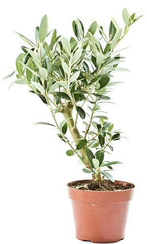 Oliivipuu hoito