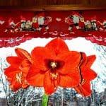 Amaryllis kukkii