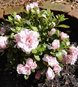 Atsalea kukkii