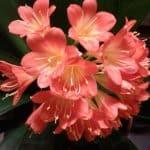 Kliivian kastelu ja kukkiminen