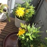 Krysanteemi kukkii
