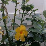 Maljaköynnöksen hoito ja kukkiminen