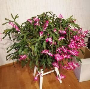 Riippuvalehtinen marraskuun kaktus