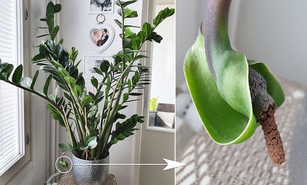 Palmuvehkan kukkiminen