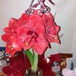 Suurikokoinen amaryllis kukka
