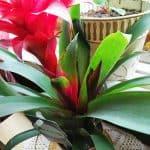 Timanttiananas kukkii