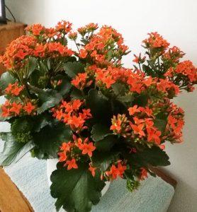 Tulilatva kasvaa ja kukkii