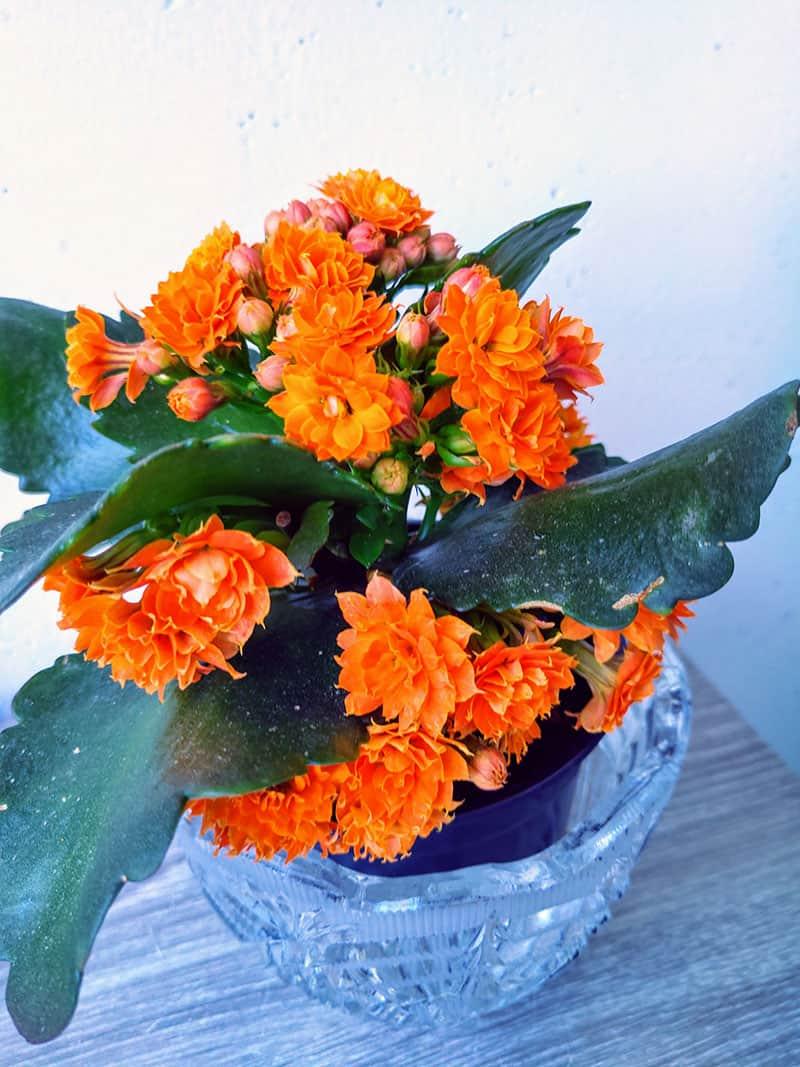 Tulilatva kukkiminen ja pimeäkäsittely